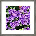 Purple Perfection Framed Print