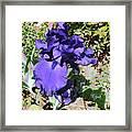 Purple Springtime Iris  Framed Print