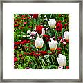 Red And White Tulips With Red And Pink English Daisies In Spring Framed Print