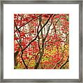 Red Maple Leaves And Branches Framed Print