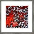 Red Oaks Framed Print