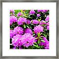 Rhododendrons In Bloom Framed Print