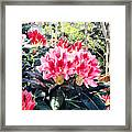 Rhododendrons Of British Properties Framed Print by David Lloyd Glover