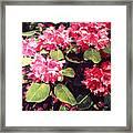 Rhododendrons Rothschild Framed Print by David Lloyd Glover