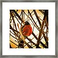 Robin In Late Sun Framed Print