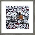 Robin Perched In Crabapple Tree Framed Print