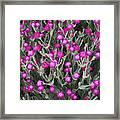 Rose Campion Framed Print