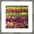 Rows Of Bromeliads Framed Print