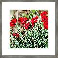 Scarlet Red Dianthus Framed Print