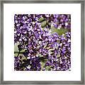 Sea Lavender Framed Print
