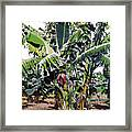 Second Bananas Framed Print