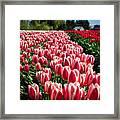 Skagit County Tulip Festival Framed Print