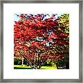 Sparkling Japaneese Maple Tree Framed Print