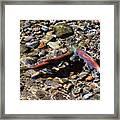 Spawning Salmon - Odell Lake Oregon Framed Print