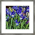 Vivid Blue Iris Flowers Framed Print