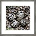 Spotted Sandpiper Nest Framed Print