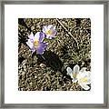 Spring Crocus Framed Print