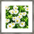 Spring Daisy In The Meadow Framed Print