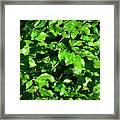 Spring New Beech Leaves Framed Print