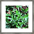 Staghorn Fern With Dead Leaves Framed Print
