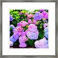 Summer Hydrangeas #2 Framed Print