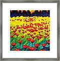 Sun Poppies Framed Print