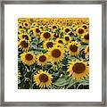 Sunflower Field France Framed Print