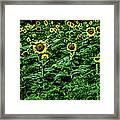 Sunflower Field Panorama Framed Print