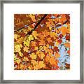 Sunlight In Maple Tree Framed Print