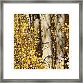 Sunlight Shines On Golden Aspen Leaves Framed Print by Charles Kogod