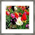 Sunlit Tulips Framed Print