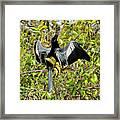 Sunning Anhingas Bird One Framed Print
