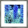 Sunrise Delphiniums Framed Print