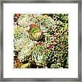 Super Succulents Framed Print