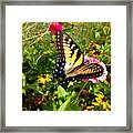 Swallow Tail Butterfly Enjoying The Sunshine Framed Print