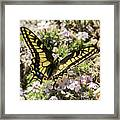 Swallowtail At Sand Wash Framed Print