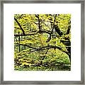 Swamp Birch In Autumn Framed Print