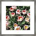 Swanhurst Tulips Framed Print