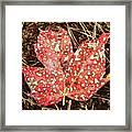 sycamore maple Autumn leaf Framed Print