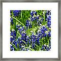 Texas Bluebonnets 002 Framed Print
