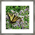 The Canadian Tiger Swallowtail Framed Print