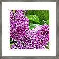 This Lilac Has Flowers With A White Edging.1 Framed Print