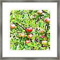 Trees With Red Apples In An Orchard Framed Print