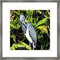 Tricolored Heron 3 Framed Print