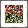 Tulip Delight 2 Framed Print