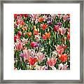 Tulip Delight 4 Framed Print