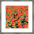 Tulip Garden Framed Print by Richard Mitchell