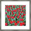 Tulips In Kristiansund, Norway Framed Print