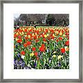 Tulips In The Park. Framed Print