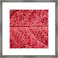 Veins In A Red Autumn Leaf Framed Print